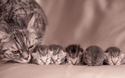 Nőstény macskák ivartalanítása