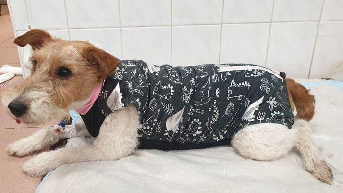 Kutya műtét utáni ruhában