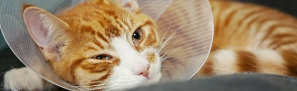 Nőstény cica ivartalanítás után gallérral
