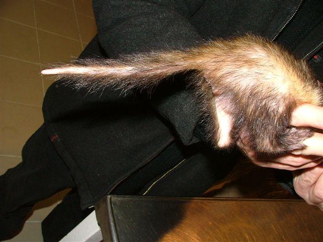 Patkányfarok típusú szőrhullás