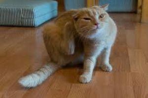 Bolhás cica