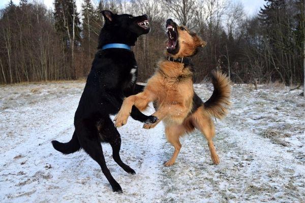 Kan kutyák ivartalanítás előtt agresszívak