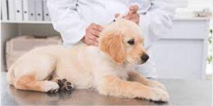 Kiskutya védőoltása