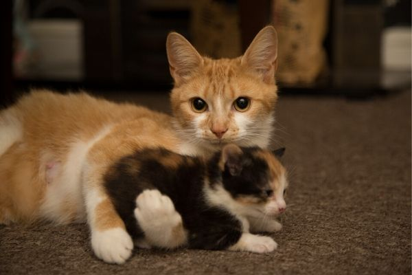 Macska védőoltása