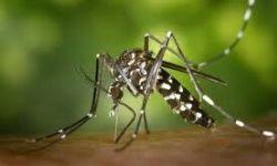Szívférgességet okozó szúnyog